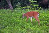 Deer - Rainbow Springs State Park