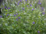 Stachytarpheta urticifolia or Blue Porter Weed - Rainbow Springs Residence