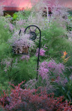 Tamarisk Tree Blossoms & Barberry
