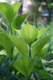 Hydrangea Foliage