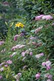 Garden View - Spirea & Yellow Lilies