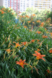Garden View - Day Lilies
