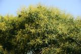 Golden Rain Tree Blossoms