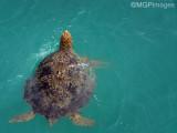 Sea Turtle, Whitehaven Beach