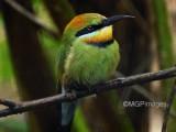 Rainbow-bee-eater, Australia