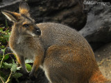 Red Wallaby, Australia