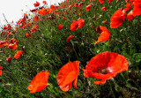 wind swept red poppies