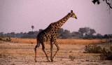 Giraffe, Moremi, Botswana