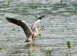 grey heron 1.jpg