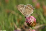 5524  Lampides boeticus    cahlil ahafoon