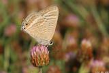 5520   Lampides boeticus    cahlil ahafoon