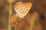 Aricia agestis _5579. chahelil ageranyoon