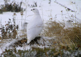 Family portrait of white tailed ptarmigans