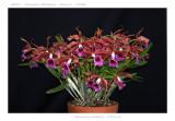 20085917 - Lealia tenebrosa  'Michael II'  CCM/AOS  85 pts.