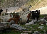 High-altitude goats - P1280925.jpg
