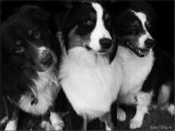 'Aussies' - Australian Shepherds in B&W