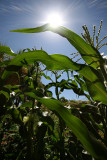 S is for Sunshine on my Sweet corn