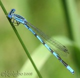 Double-striped Bluet - Enallagma basidens
