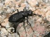 Boreal Long-lipped Tiger Beetle Cicindela longilabris