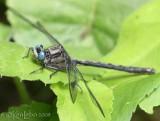 Horned Clubtail Arigomphus cornutus