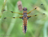 Four-spotted Skimmer Libellula quadrimaculata female