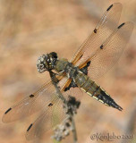 Four-spotted Skimmer Libellula quadrimaculata