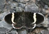 White-striped Black Trichodezia albovittata #7430