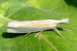 Girard's Grass-veneer Moth Crambus girardellus #5365