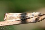 Vagabond Crambus Moth Agriphila vulgivagellus #5403