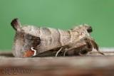 Sigmoid Prominent Clostera albosigma #7895