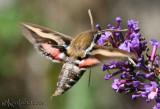Gallium Sphinx Moth Hyles gallii #7893