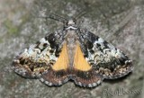 False Underwing Allotria elonympha #8721