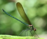 Superb Jewelwing Calopteryx amata