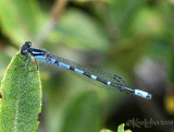 Pine Barrens Bluet Enallagma recurvatum