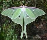 Luna Moth Actias luna #7758