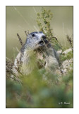 Marmottes à Beuil