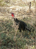 turkey in the bush