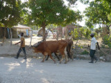 cows used for plowing the fields going home after a hard days work