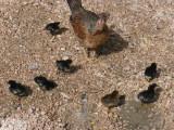 mamma hen and baby chicks