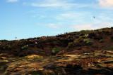 Puffins on Coquet Island