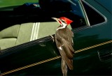 Pileated Woodpecker #57.JPG