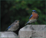 Bluebirds Son and Father
