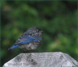 Bluebird Son
