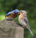 Bluebirds Courting,  Dad Feeds Mom