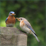 Mom Swallows Gift from Dad - Bluebirds