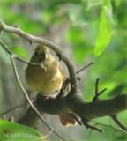 Baby Cardinal (Fledgling)