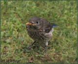 Baby Bluebird - Female