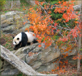 Panda in Autumn