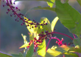 Pokeberry Branches
