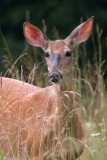 Whitetailed Doe in Long Grass
